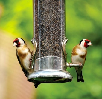 bird watching Goldfinch at a feeder