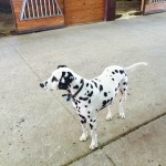 Hitch, the Dalmatian.