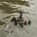 The mama duck and her tiny babies came right up beside our boat as we were coming back into the dock.
